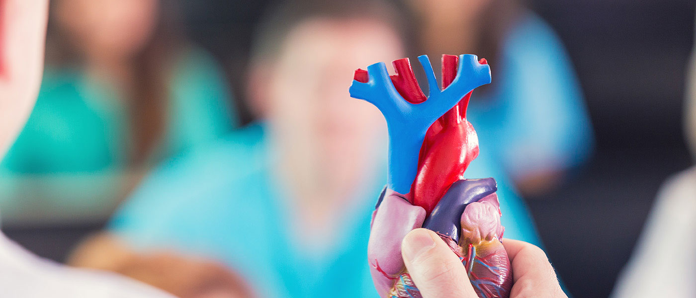 Model of a human heart